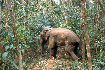 Elephant regaining consciousness wearing an early GPS collar system