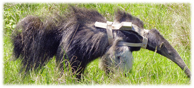 Harness with MOD-400 on giant anteater